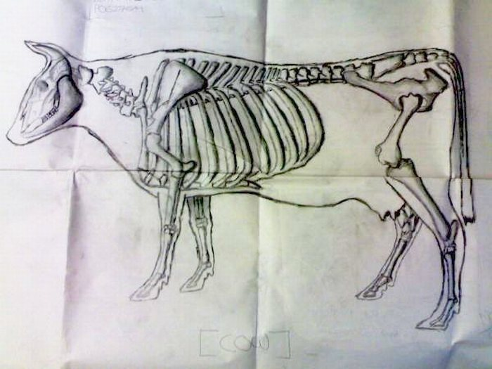 Cow Skeleton/ Muscles Drawing using Pencil
